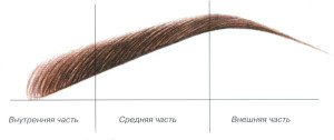 Наглядный пример деления брови на части